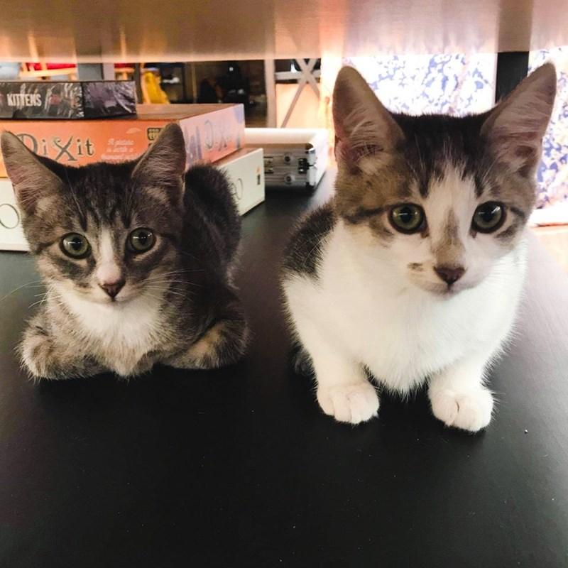 Cat - KITTENS DiXit