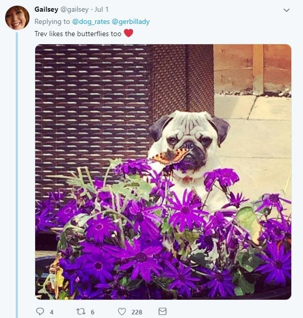 Dog - Gailsey @gailsey Jul 1 Replying to @dog rates @gerbillady Trev likes the butterflies too t6 228