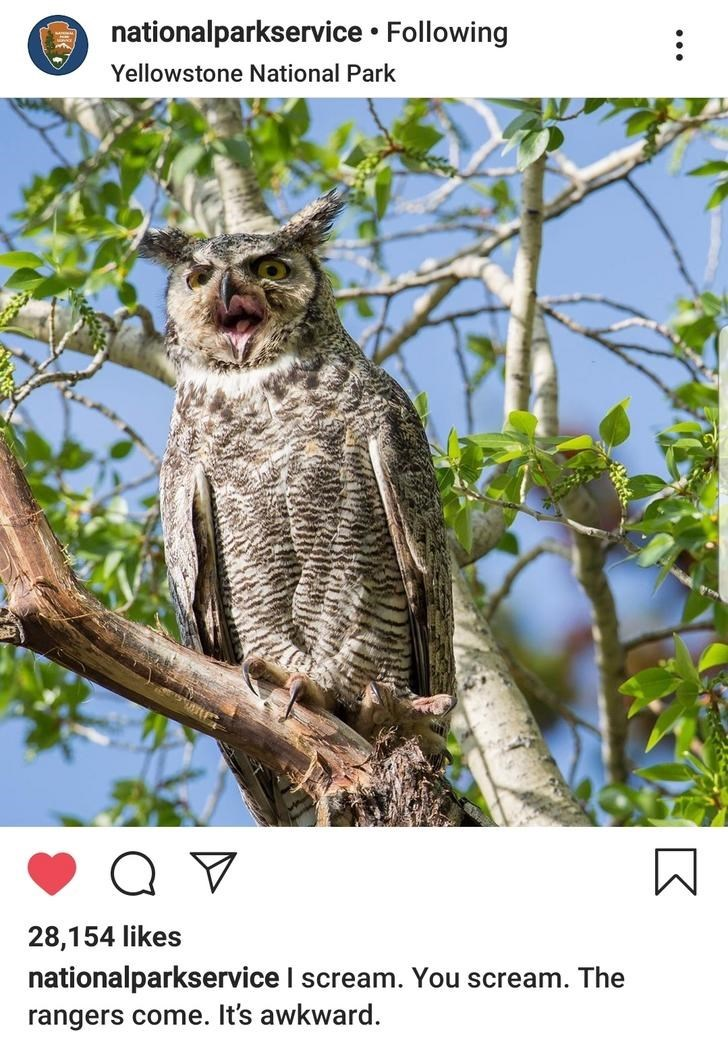 Owl - nationalparkservice Following : Yellowstone National Park 28,154 likes nationalparkservice I scream. You scream. The rangers come. It's awkward.