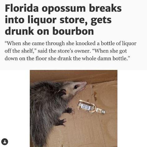 "Headline - ""Florida opossum breaks into liquor store, gets drunk on bourbon"""
