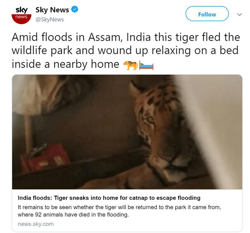 Text - sky Sky News news Follow @SkyNews Amid floods in Assam, India this tiger fled the wildlife park and wound up relaxing on a bed inside a nearby home India floods: Tiger sneaks into home for catnap to escape flooding It remains to be seen whether the tiger will be returned to the park it came from, where 92 animals have died in the flooding. news.sky.com