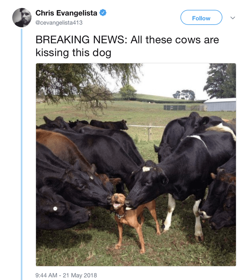 Canidae - Chris Evangelista Follow @cevangelista413 BREAKING NEWS: All these cows are kissing this dog 9:44 AM 21 May 2018