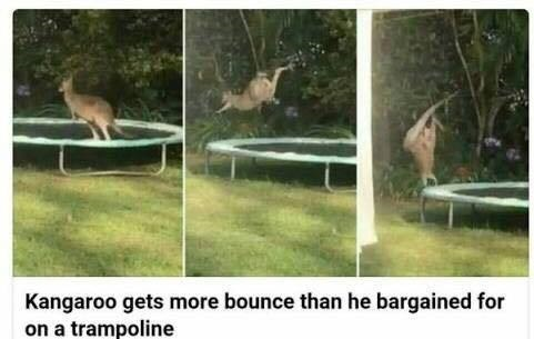 animal meme - Trampoline - Kangaroo gets more bounce than he bargained for on a trampoline
