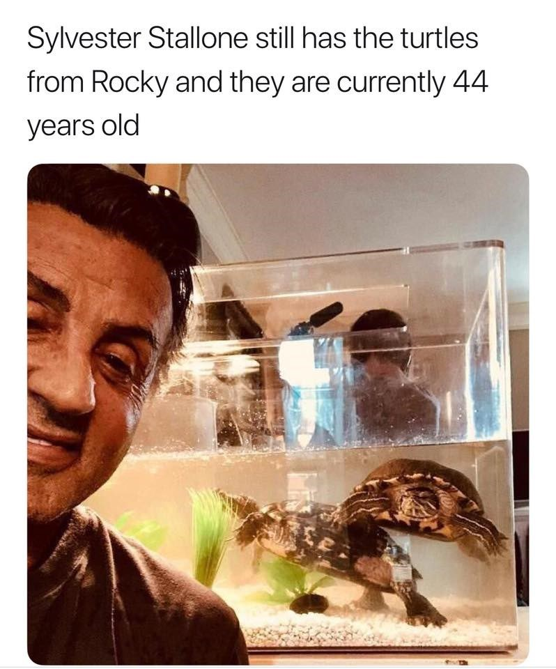 animal meme - Organism - Sylvester Stallone still has the turtles from Rocky and they are currently 44 years old