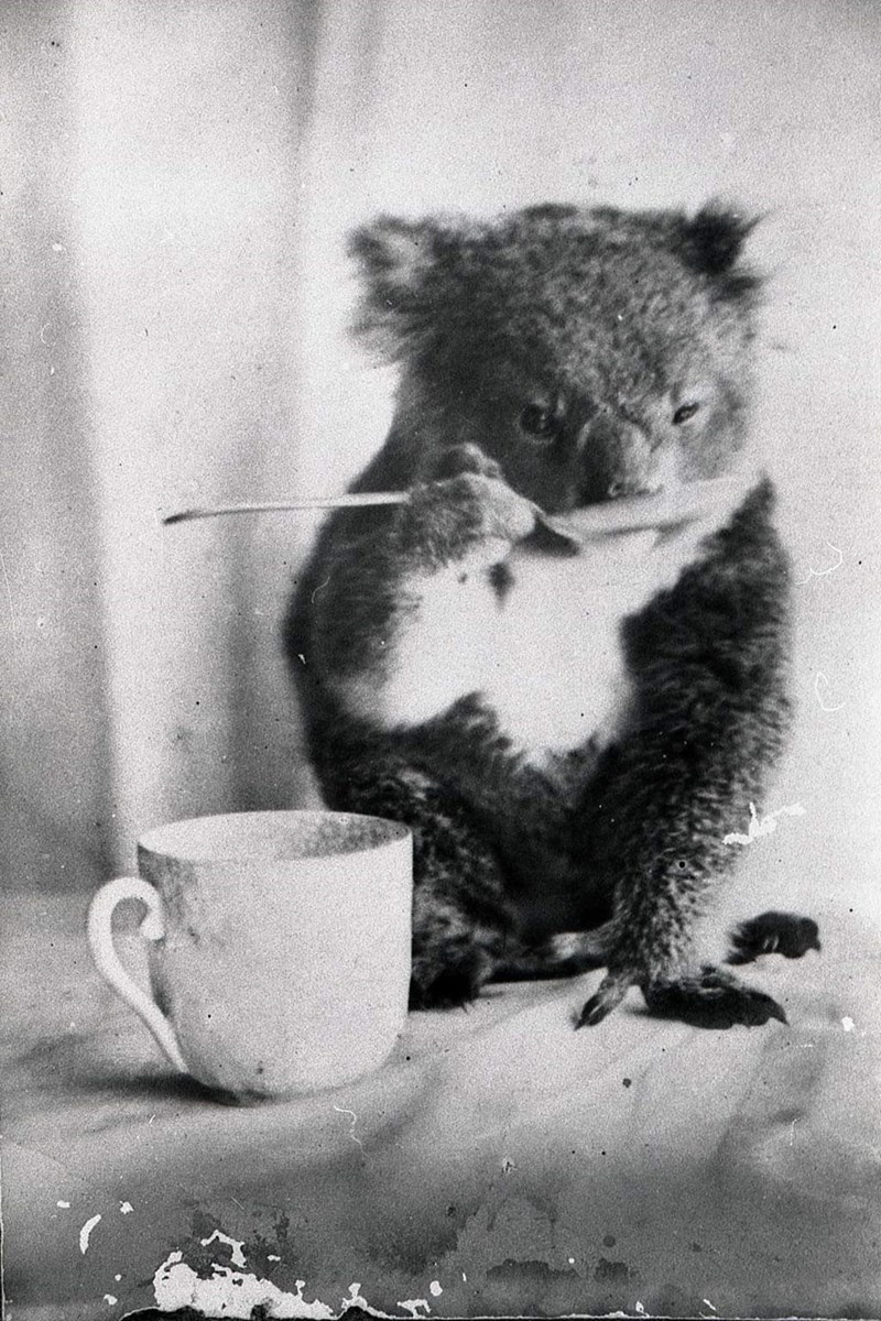old photograph of a koala eating with a spoon