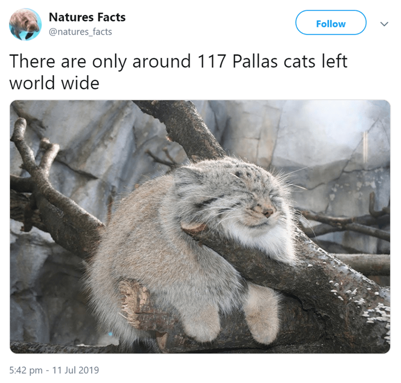 animal fact - Wildlife - Natures Facts Follow @natures_facts There are only around 117 Pallas cats left world wide 5:42 pm 11 Jul 2019