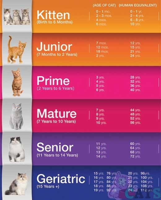 chart translating cat age to human years