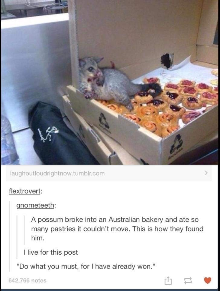 "Rat - laughoutloudrightnow.tumblr.com flextrovert: gnometeeth: A possum broke into an Australian bakery and ate so many pastries it couldn't move. This is how they found him. I live for this post ""Do what you must, for I have already won."" 642,766 notes"