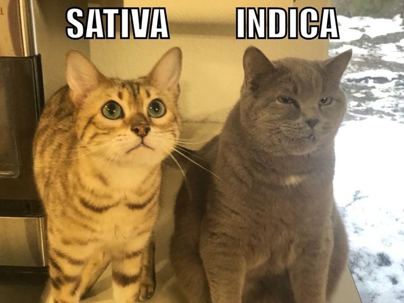 Cat - INDICA SATIVA