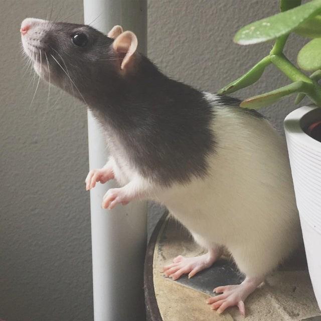 cute - Rat