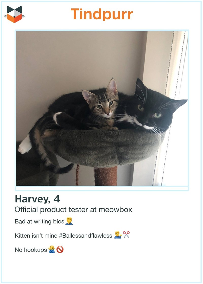Cat - Tindpurr Harvey, 4 Official product tester at meowbox Bad at writing bios Kitten isn't mine #Ballessandflawless No hookups
