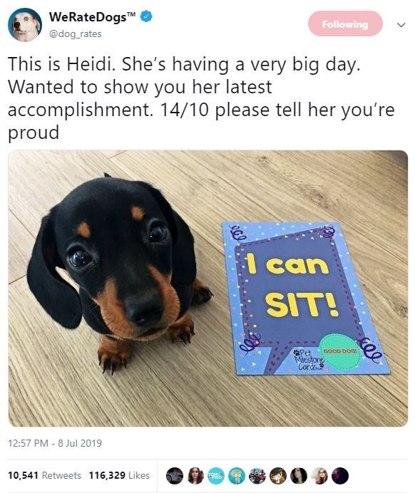 Dog - WeRateDogs @dog rates TM Following This is Heidi. She's having a very big day. Wanted to show you her latest accomplishment. 14/10 please tell her you're proud l can SIT! Pet stone Carde 12:57 PM 8 Jul 2019 10,541 Retweets 116,329 Likes TOM