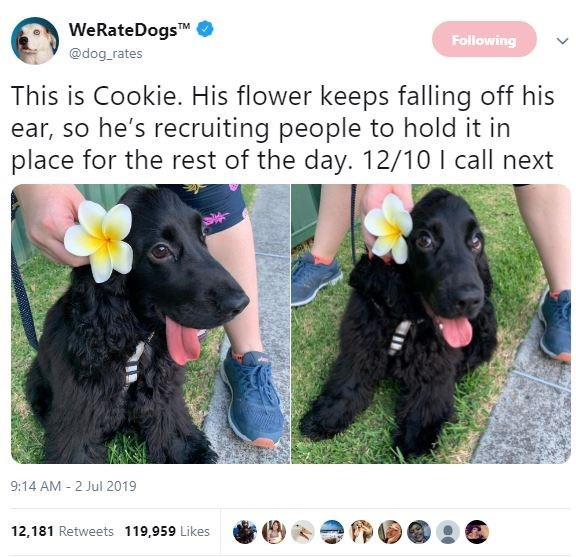 Dog - WeRateDogs TM @dog rates Following This is Cookie. His flower keeps falling off his ear, so he's recruiting people to hold it in place for the rest of the day. 12/10 call next 9:14 AM 2 Jul 2019 12,181 Retweets 119,959 Likes