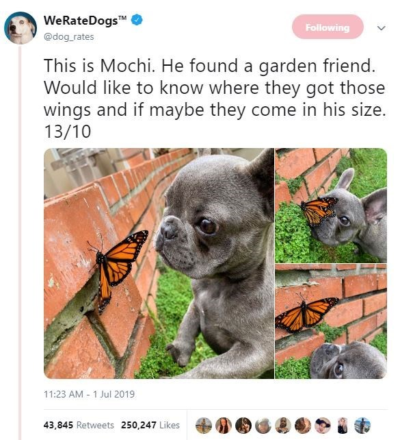 Snout - WeRateDogsTM @dog rates Following This is Mochi. He found a garden friend Would like to know where they got those wings and if maybe they come in his size. 13/10 11:23 AM 1 Jul 2019 43,845 Retweets 250,247 Likes
