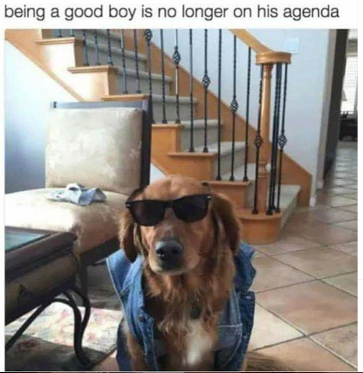 memes - Dog - being a good boy is no longer on his agenda