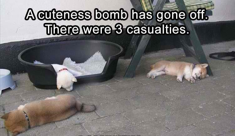 memes - Dog - A cuteness bomb has gone off There were 3 casualties.
