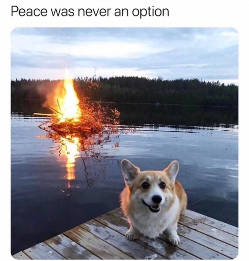 Welsh Corgi - Peace was never an option