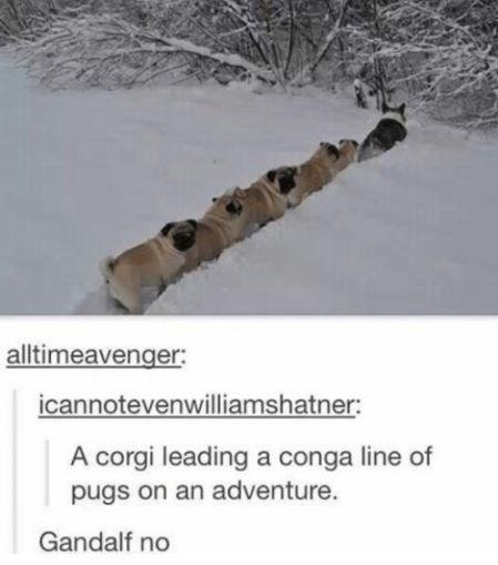 Snow - alltimeavenger: icannotevenwilliamshatner: A corgi leading a conga line of pugs on an adventure. Gandalf no