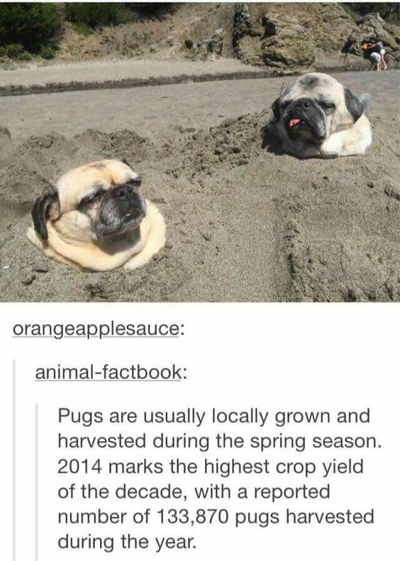 Pug - orangeapplesauce: animal-factbook: Pugs are usually locally grown and harvested during the spring season 2014 marks the highest crop yield of the decade, with a reported number of 133,870 pugs harvested during the year.