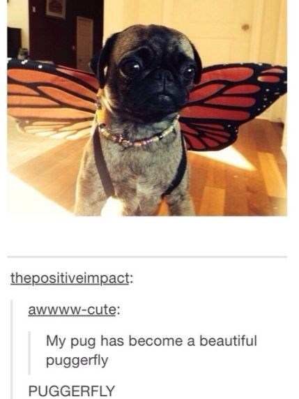 Pug - thepositiveimpact awwww-cute: My pug has become a beautiful puggerfly PUGGERFLY