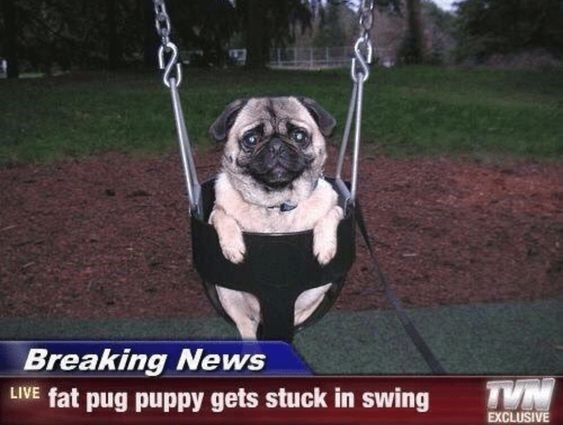 Pug - Breaking News LIVE fat pug puppy gets stuck in swing EXCLUSIVE