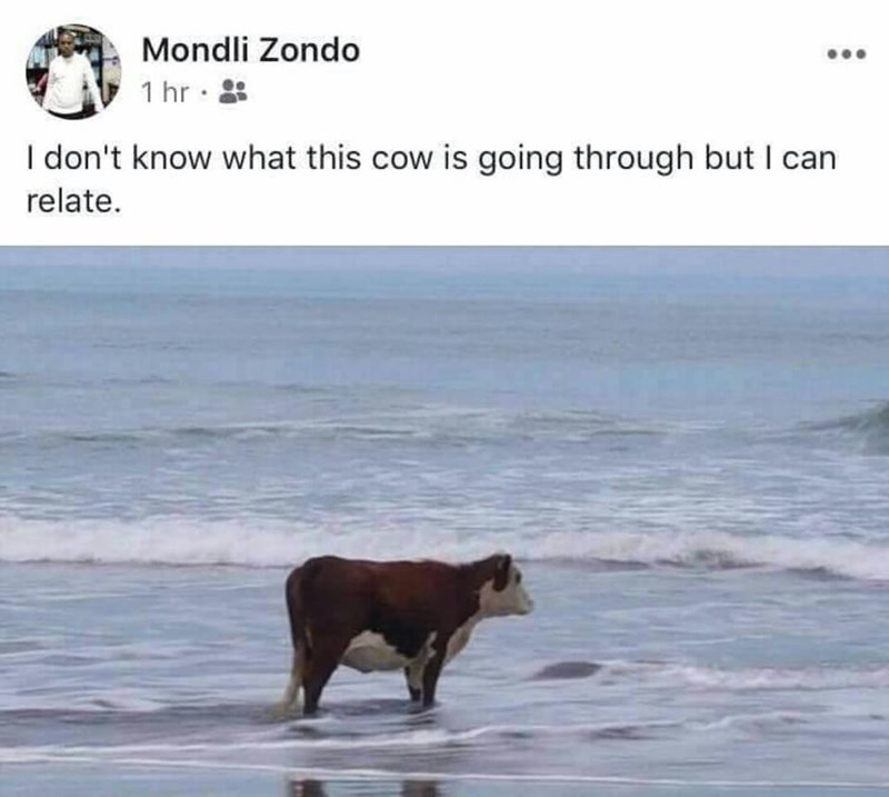 Text - Mondli Zondo 1 hr I don't know what this cow is going through but I can relate.
