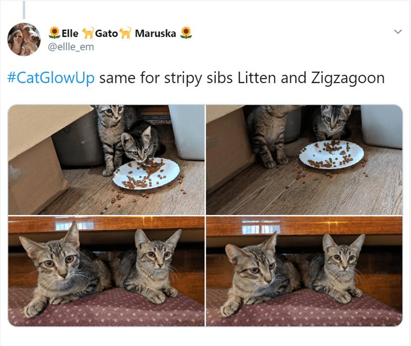 Cat - Elle GatoMaruska @ellle_em #CatGlowUp same for stripy sibs Litten and Zigzagoon MOSY RC