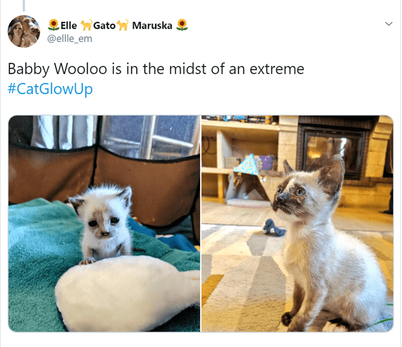 Cat - Maruska ElleGato @ellle_em Babby Wooloo is in the midst of an extreme #CatGlowUp