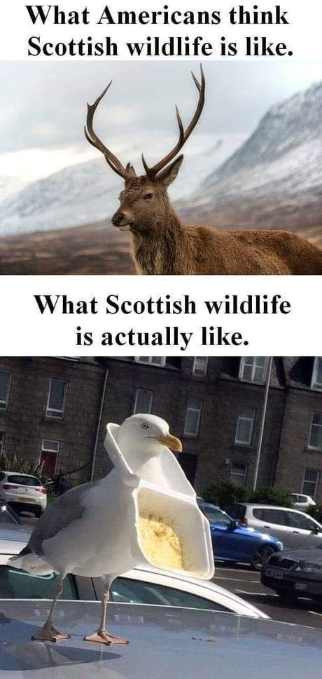 Deer - What Americans think Scottish wildlife is like What Scottish wildlife is actually like