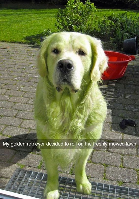 Dog - My golden retriever decided to roll on the freshly mowed lawn