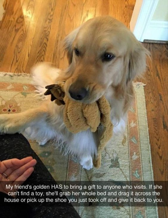 Dog - My friend's golden HAS to bring a gift to anyone who visits. If she can't find a toy, she'll grab her whole bed and drag it across the house or pick up the shoe you just took off and give it back to you.