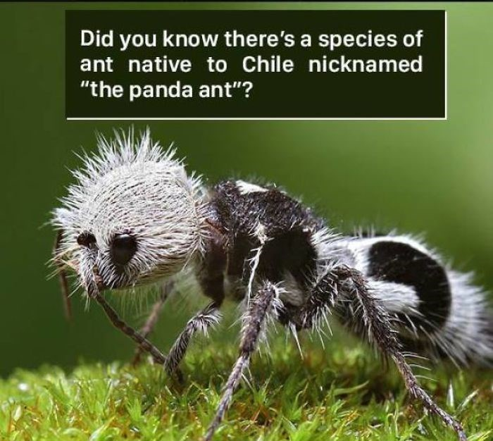 """Terrestrial animal - Did you know there's a species of ant native to Chile nicknamed """"the panda ant""""?"""
