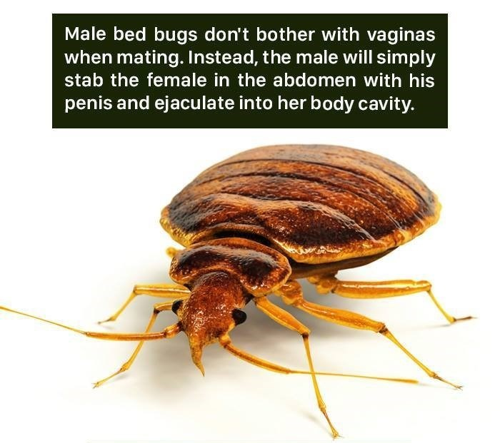 Insect - Male bed bugs don't bother with vaginas when mating. Instead, the male will simply stab the female in the abdomen with his penis and ejaculate into her body cavity.