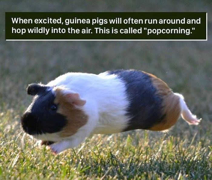 """Guinea pig - When excited, guinea pigs will often run around and hop wildly into the air. This is called """"popcorning."""""""
