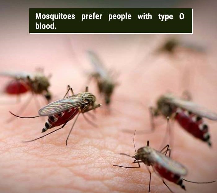 Insect - Mosquitoes prefer people with type O blood.