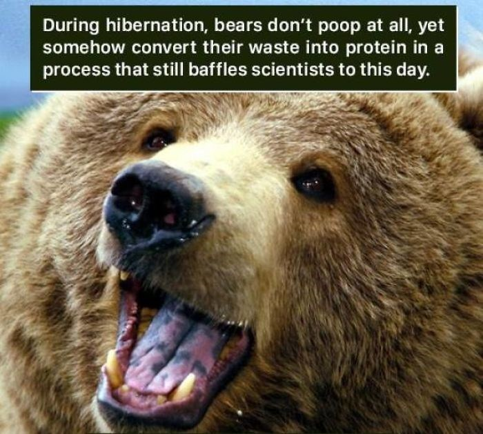 Mammal - During hibernation, bears don't poop at all, yet somehow convert their waste into protein in a process that still baffles scientists to this day.
