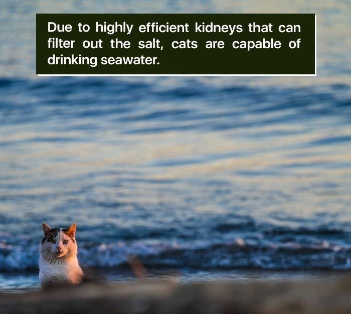 Text - Due to highly efficient kidneys that can filter out the salt, cats are capable of drinking seawater.