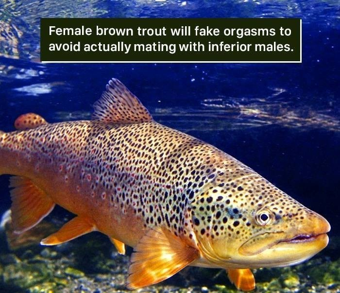 Fish - Female brown trout will fake orgasms to avoid actually mating with inferior males.