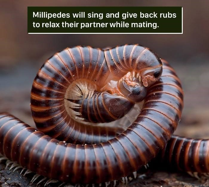millipedes - Millipedes will sing and give back rubs to relax their partner while mating.