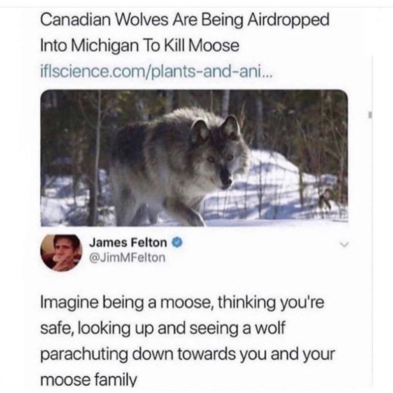 meme - Text - Canadian Wolves Are Being Airdropped Into Michigan To Kill Moose iflscience.com/plants-and-ani... James Felton @JimMFelton Imagine being a moose, thinking you're safe, looking up and seeing a wolf parachuting down towards you and your moose family