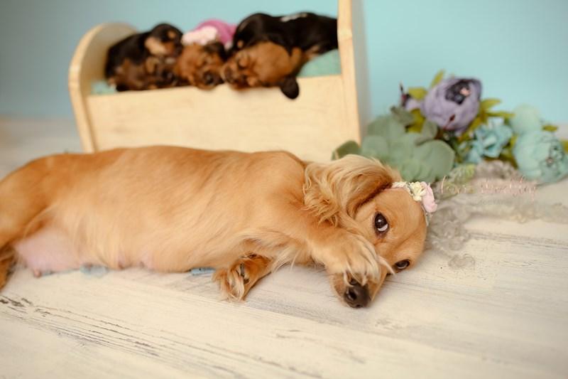 puppies maternity photographer photoshoot