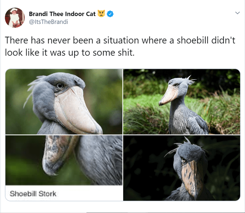 Bird - Brandi Thee Indoor Cat @ltsTheBrandi There has never been a situation where a shoebill didn't look like it was up to some shit. Shoebill Stork