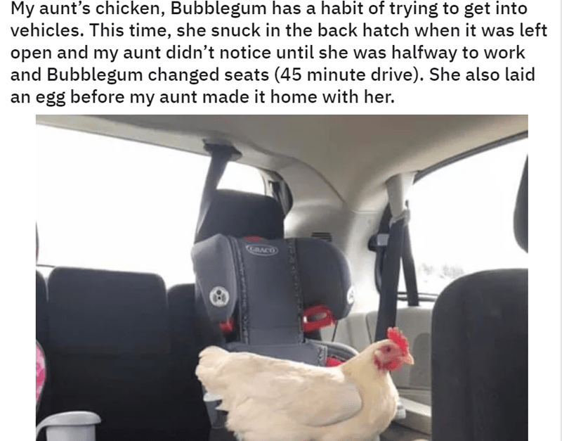 Car seat - My aunt's chicken, Bubblegum has a habit of trying to get into vehicles. This time, she snuck in the back hatch when it was left open and my aunt didn't notice until she was halfway and Bubblegum changed seats (45 minute drive). She also laid egg before my aunt made it home with her. GACO