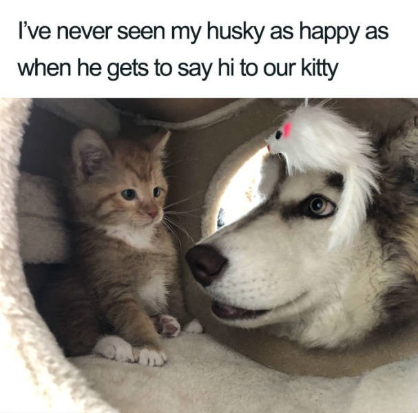 Mammal - I've never seen my husky as happy when he gets to say hi to our kitty