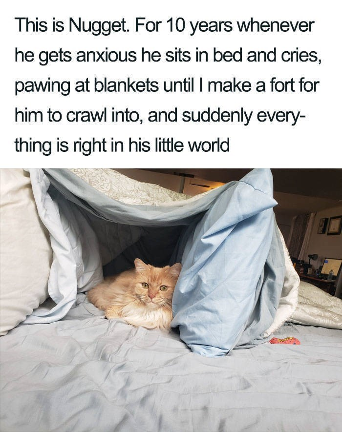 Cat - This is Nugget. For 10 years whenever he gets anxious he sits in bed and cries, pawing at blankets until I make a fort for him to crawl into, and suddenly every- thing is right in his little world
