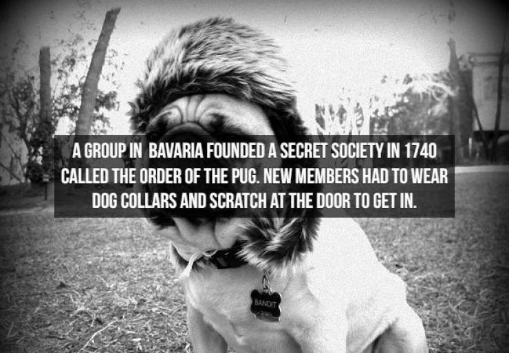 Facial expression - A GROUP IN BAVARIA FOUNDED A SECRET SOCIETY IN 1740 CALLED THE ORDER OF THE PUG. NEW MEMBERS HAD TO WEAR DOG COLLARS AND SCRATCH AT THE DOOR TO GET IN. BANDIT