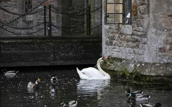 animal photo - Swan