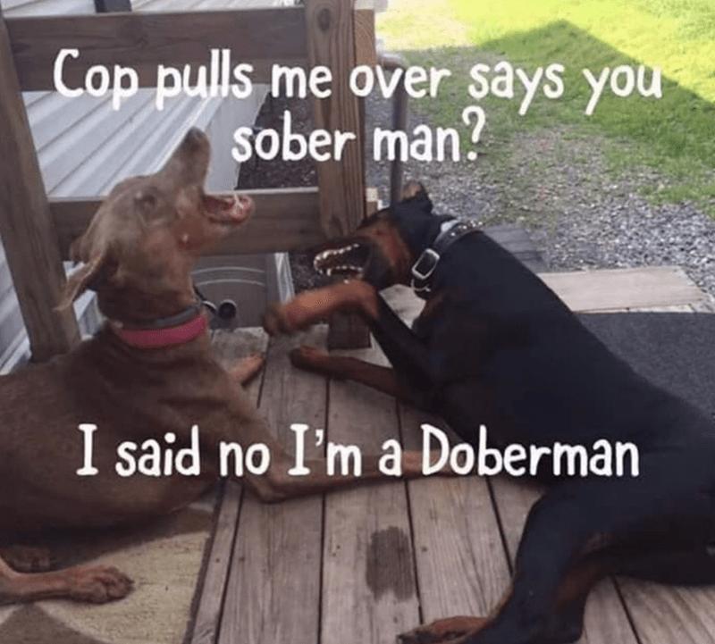 Dog - Cop pulls me over says you sober man? I said no I'm a Doberman