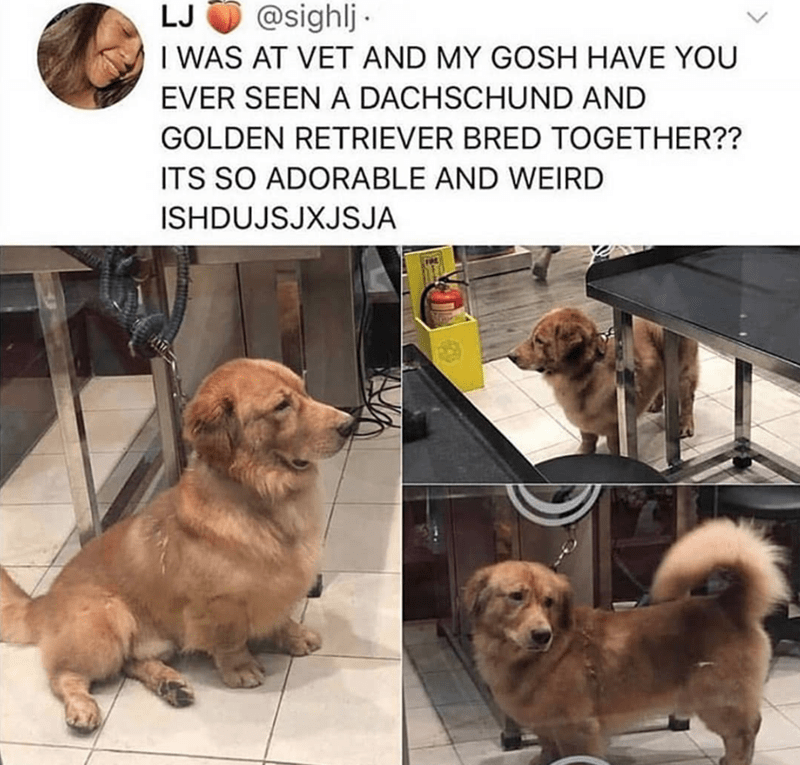 Dog - @sighlj I WAS AT VET AND MY GOSH HAVE YOU LJ EVER SEEN A DACHSCHUND AND GOLDEN RETRIEVER BRED TOGETHER?? ITS SO ADORABLE AND WEIRD ISHDUJSJXJSJA