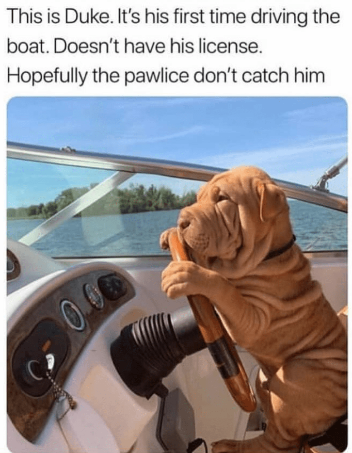 Shar pei - This is Duke. It's his first time driving the boat. Doesn't have his license. Hopefully the pawlice don't catch him